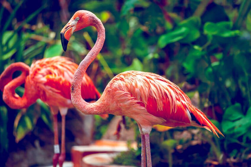 35304834 - pink flamingo close-up in singapore zoo